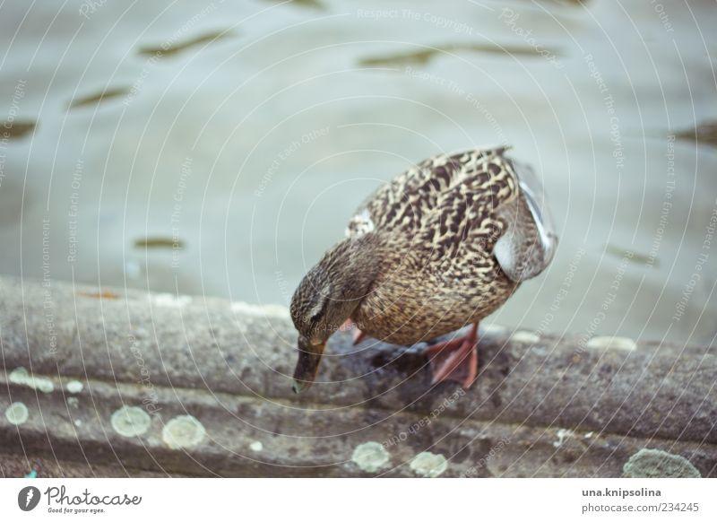die ente bleibt draußen! Natur Wasser Springbrunnen Wildtier Flügel Feder Ente 1 Tier Schwimmen & Baden stehen nass Ganzkörperaufnahme Brunnenrand Am Rand