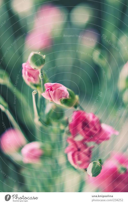 œillet grün Pflanze Blume Blatt Blüte rosa frisch Blühend Blumenstrauß Stengel Blütenknospen Blütenblatt Nelkengewächse