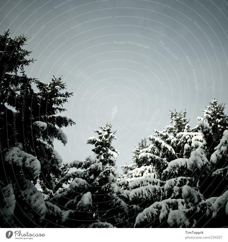 Schneewipfel und die sieben Zweige Wald grün Wäldchen Kiefer Tanne dunkel Düsterwald Baumkrone geheimnisvoll Schneelandschaft Natur Außenaufnahme Nadelwald