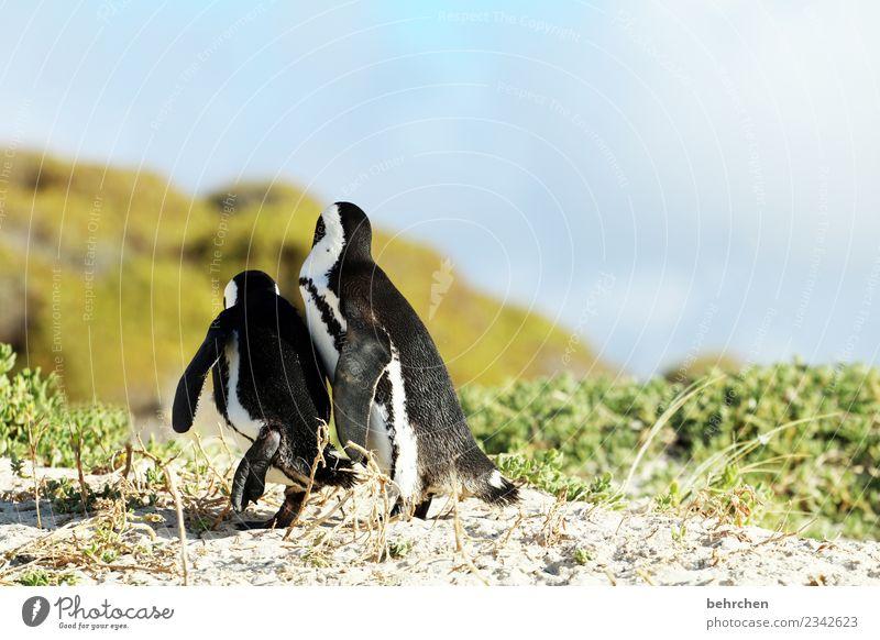 fluchtversuch?! Ferien & Urlaub & Reisen Tourismus Ausflug Abenteuer Ferne Freiheit Natur Himmel Pflanze Gras Strand Meer Wildtier Flügel Pinguin Brillenpinguin