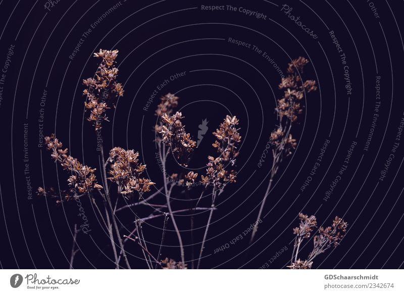 Des Grases zweites Leben Pflanze Sträucher Wildpflanze Linie dunkel natürlich trocken braun grau orange schwarz ästhetisch kalt Natur Stimmung Gedeckte Farben