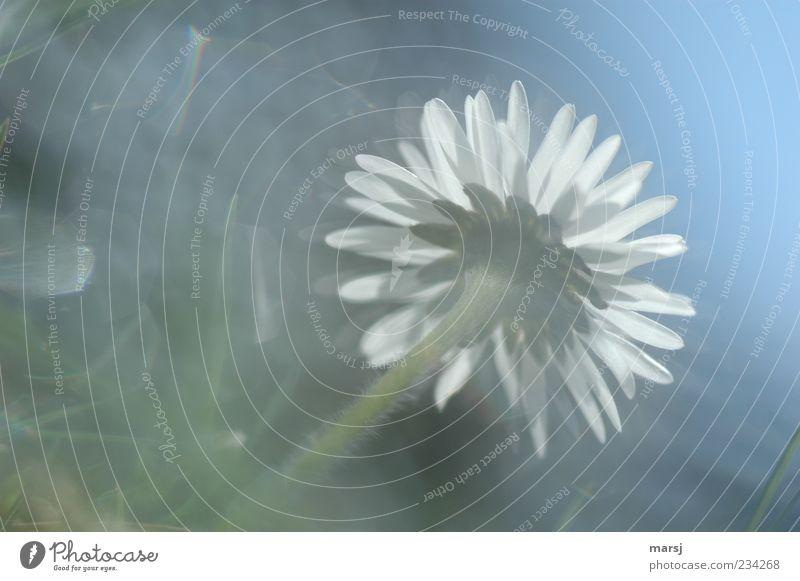 Verträumtes Blümchen Natur blau weiß Pflanze Sommer Blume Wiese Garten Frühling Blüte träumen Zufriedenheit außergewöhnlich Fröhlichkeit authentisch Wachstum