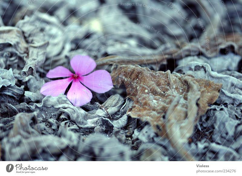 Vergänglichkeit Natur Pflanze Blatt grau Blüte rosa natürlich leuchten Wandel & Veränderung welk Blütenblatt verblüht unbeständig Überlebenskampf