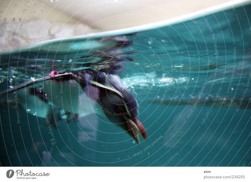 einfach abtauchen [beyond the sea 28] Natur blau Wasser Meer Tier kalt Schwimmen & Baden Wildtier Suche Flügel Tiergesicht Zoo Jagd drehen exotisch