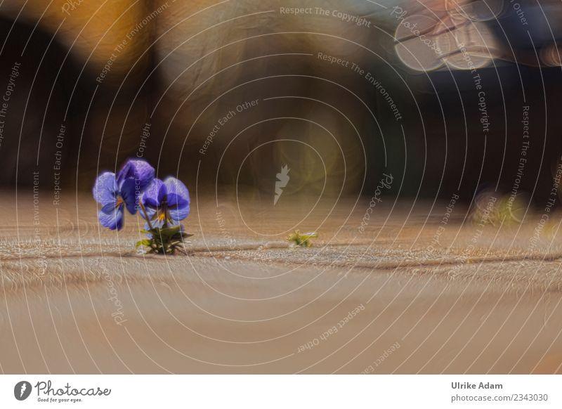 Stiefmütterchen mit weichem Hintergrund Natur Pflanze blau Sommer Blume Einsamkeit ruhig dunkel Leben Blüte Frühling Traurigkeit Garten leuchten Park Wachstum