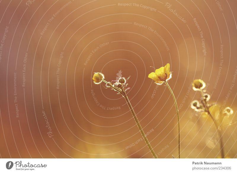 Dream about the day Natur schön Pflanze Sommer Einsamkeit ruhig gelb Erholung Umwelt Frühling Blüte träumen gold Energie Wachstum Hoffnung