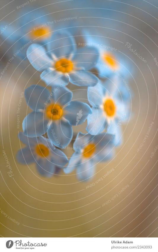 Blaue Blüten des Vergissmeinnicht (Myosotis) Natur Pflanze blau Sommer schön Blume Erholung ruhig Leben Herbst Frühling Garten Freundschaft Zufriedenheit Park