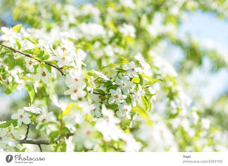 Weiße Blumen auf einem Blüten-Kirschbaum schön Sommer Garten Tapete Gartenarbeit Natur Pflanze Himmel Sonnenlicht Frühling Baum Blatt Blühend Wachstum frisch