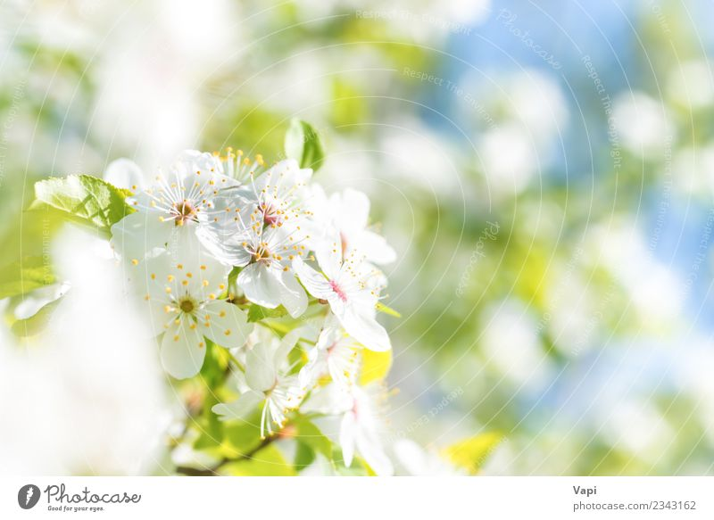 Weiße Blüten auf einem Blüten-Kirschbaum mit weichem Hintergrund Apfel schön Sommer Garten Gartenarbeit Landwirtschaft Forstwirtschaft Umwelt Natur Pflanze