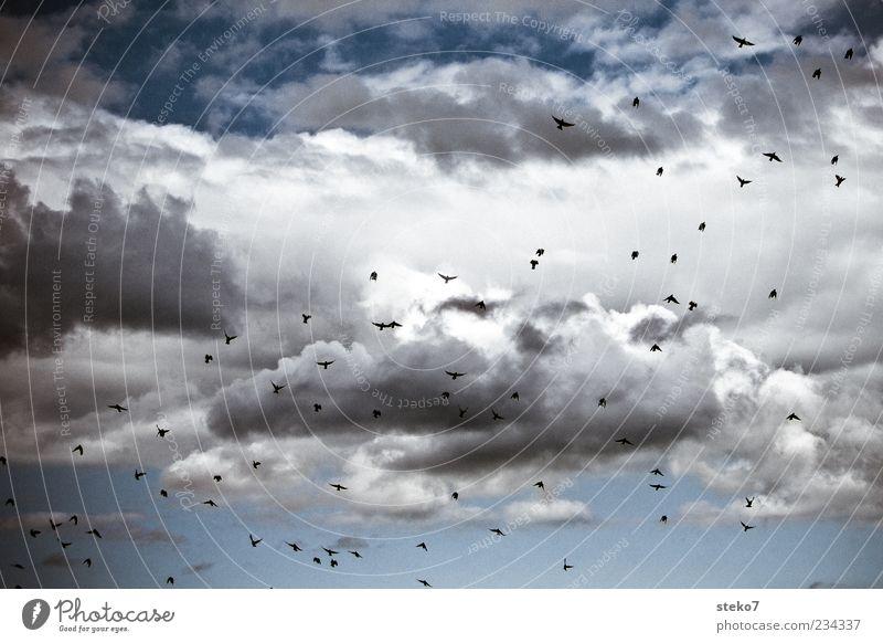 ausschwärmen Wolken Tier Vogel Schwarm fliegen Star aufstrebend blau Ferne Freiheit Farbfoto Außenaufnahme Menschenleer Tag Vogelflug Vogelschwarm viele