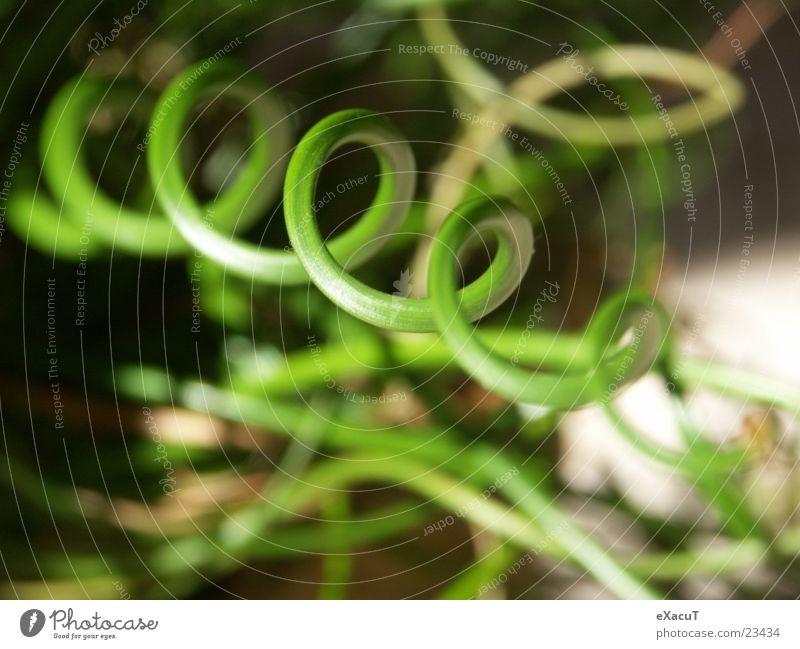 Ringelgras Gras grün Kreis Spirale Pflanze nah außergewöhnlich abstrakt Zoomeffekt Makroaufnahme Natur Strukturen & Formen