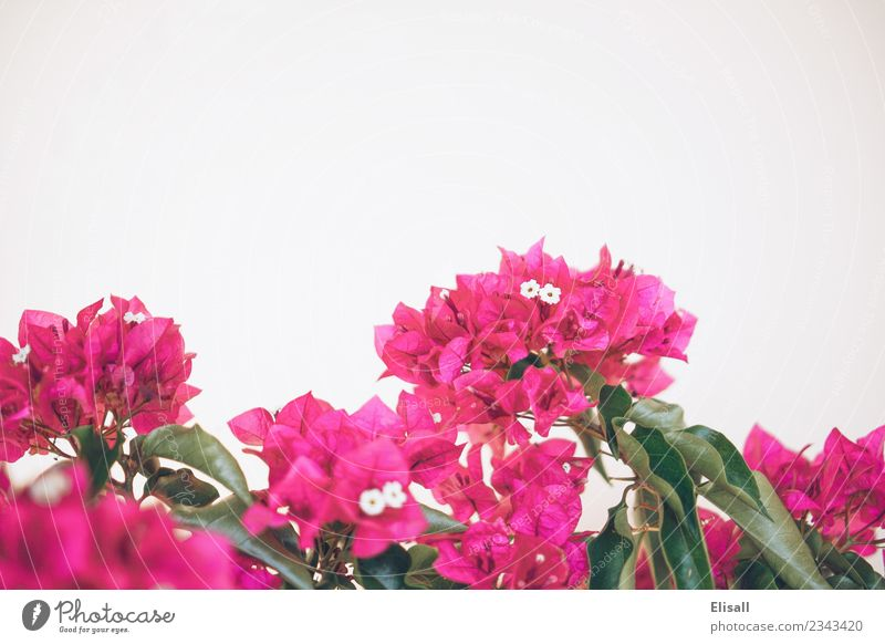 Natur Pflanze Blume Frühling Blüte Garten rosa Textfreiraum Bougainvillea Fuchsie