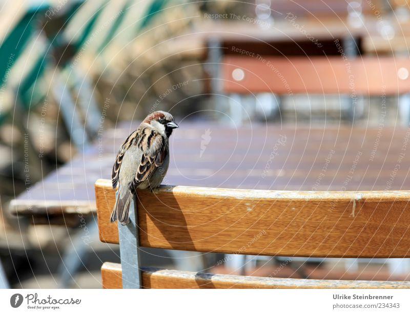 Besetzt! Tier Wildtier Vogel Spatz 1 hocken Blick sitzen warten lustig Wachsamkeit Erwartung Stuhl Platzhalter besetzen frech Frühling Stammtisch Farbfoto