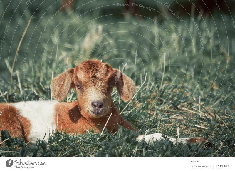 Zicklein Natur Tier Frühling Gras Nutztier 1 Tierjunges liegen natürlich niedlich Ziegen scheckig gefleckt Weide Fell Ziegenfell Farbfoto mehrfarbig