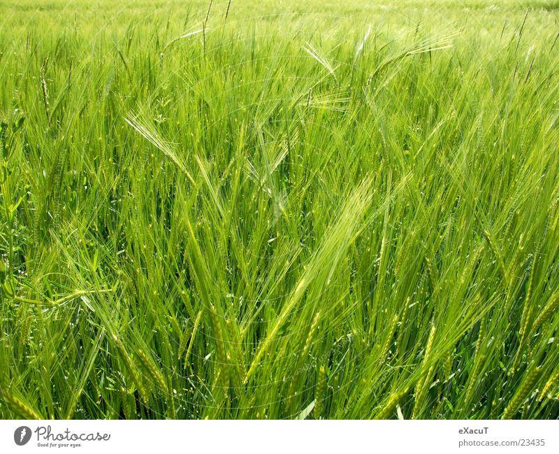 Gerstenfeld Feld Pflanze grün Gras Natur Getreide drausen Amerika