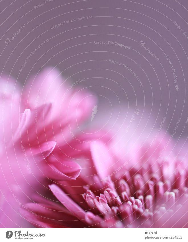 mein Frühling ist pink Natur Pflanze Blume Blüte rosa violett Anschnitt Blütenblatt Frühlingsgefühle Blütenstempel Frühlingsblume Frühlingsfarbe