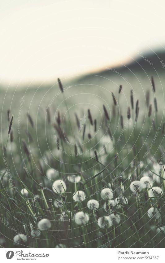 Blown Umwelt Natur Frühling Klimawandel Pflanze Gras Sträucher Grünpflanze Nutzpflanze Wiese Feld Blühend träumen frei grün weiß Frühlingsgefühle Leidenschaft