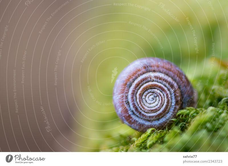 klein und rund Umwelt Natur Herbst Pflanze Moos Blatt Grünpflanze Wald Schnecke Schneckenhaus Zeichen Ornament weich braun grün Schutz Symmetrie Spirale