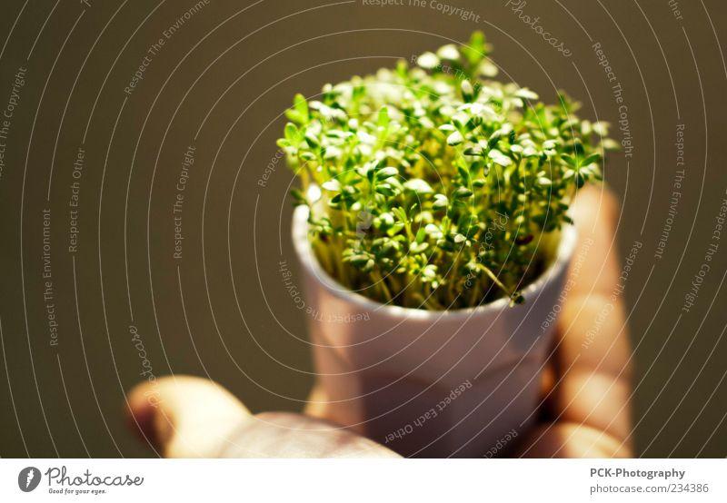 voll kress Kräuter & Gewürze Pflanze Gras Grünpflanze Nutzpflanze Duft Farbfoto Schwache Tiefenschärfe festhalten Hand Hintergrund neutral Blumentopf Kresse