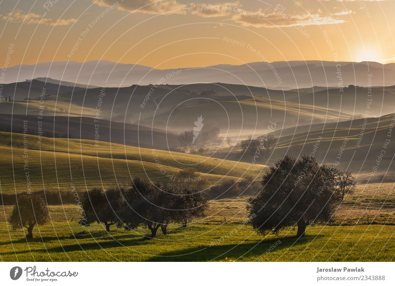 Toskanische Felder und Olivenbäume bei Sonnenaufgang in einem mystischen Nebel Ferien & Urlaub & Reisen Sommer Haus Natur Landschaft Pflanze Baum Gras Wiese