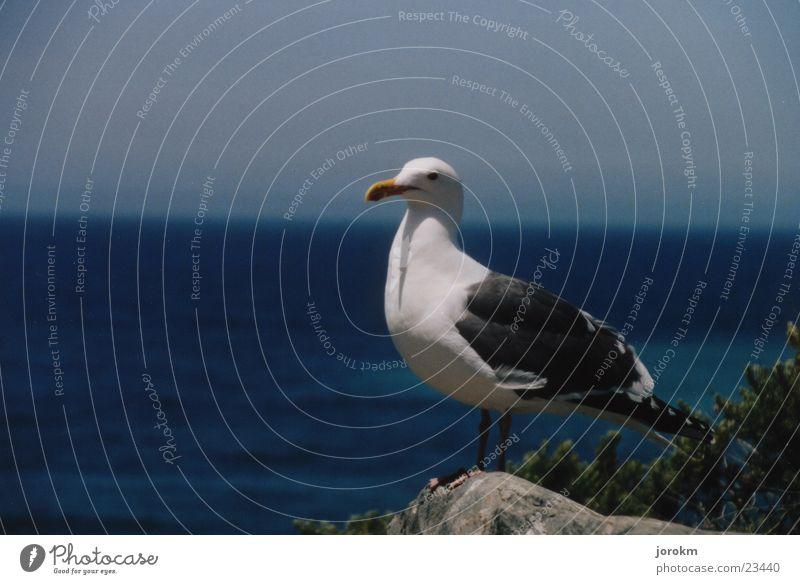 Möwe am Pazifik Wasser blau Sommer Stein Luft Vogel
