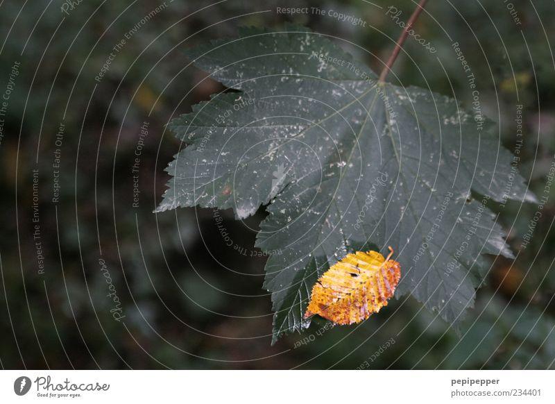 aufgefangen Natur grün Pflanze Blatt gelb Herbst klein hell dreckig groß berühren Stengel Herbstlaub Ahornblatt Herbstfärbung Grünpflanze