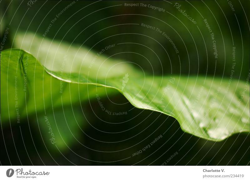 Blatt Natur Pflanze Grünpflanze ästhetisch außergewöhnlich einfach elegant natürlich grün schwarz Kraft schön authentisch beweglich Leben rein Umwelt Wachstum