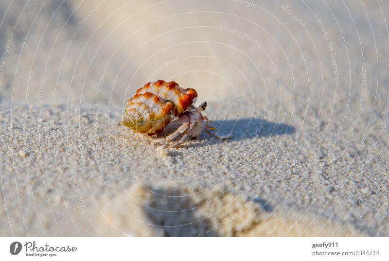 Einsiedlerkrebs III Ferien & Urlaub & Reisen Ferne Sommer Strand Meer Umwelt Sand Küste Tier Wildtier Muschel Tiergesicht Fährte Krebstier 1 Bewegung entdecken