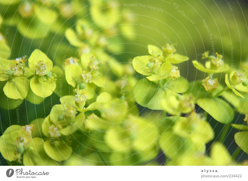 GrünKraut. Natur grün Pflanze Blatt gelb Umwelt Blüte frisch zartes Grün