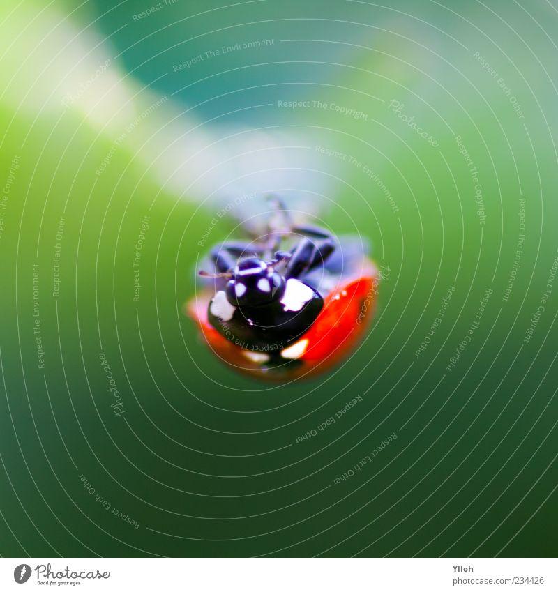 hanging around Natur Tier ruhig Umwelt Freiheit Zeit Wildtier hängen Käfer krabbeln Marienkäfer kopfvoran