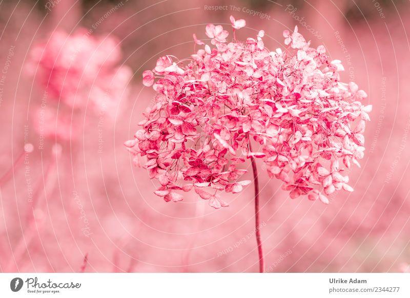Verblühte Hortensien in Rosa Natur Pflanze Blume Erholung ruhig Winter Leben Herbst Blüte Frühling Traurigkeit Garten rosa Zufriedenheit hell Park