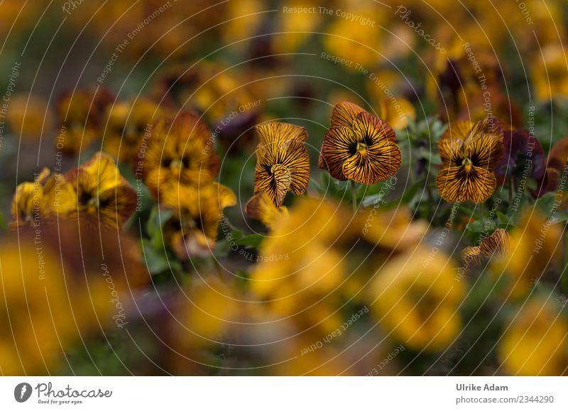 Gestreifte Stiefmütterchen ( Viola) Natur Pflanze Sommer Blume gelb Herbst Blüte Frühling Garten außergewöhnlich orange Park Blühend niedlich weich Ostern