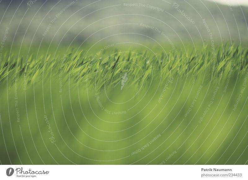 Horizontale Umwelt Natur Frühling Sommer Klima Gras Wiese ästhetisch frisch Unendlichkeit nah natürlich grün Kontrast Menschenleer Schwache Tiefenschärfe Feld