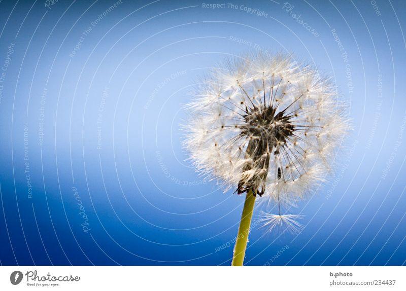 blue as the sky Natur schön Himmel Blume Pflanze Sommer Blüte Frühling elegant Umwelt weich einzigartig Wunsch zart Löwenzahn Schönes Wetter