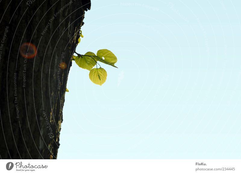Stammhalter Umwelt Natur Pflanze Himmel Wolkenloser Himmel Sonnenlicht Sommer Baum Blatt Grünpflanze nachhaltig blau braun grün Hoffnung rein Wachstum Zukunft