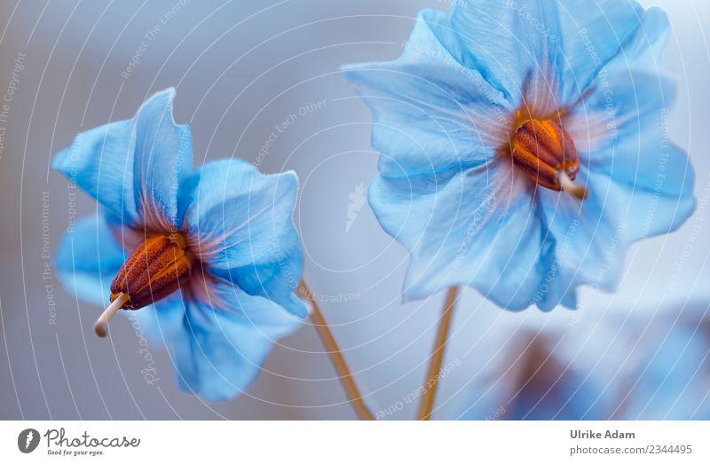 Blaue Kartoffelblüten Natur alt Pflanze blau Sommer schön Blüte Garten außergewöhnlich leuchten glänzend Blühend Landwirtschaft Gemüse zart filigran