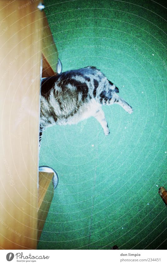 mind your step Katze grün Tier ruhig Erholung wild liegen schlafen Fell Gelassenheit dick analog verstecken trashig Haustier Teppich