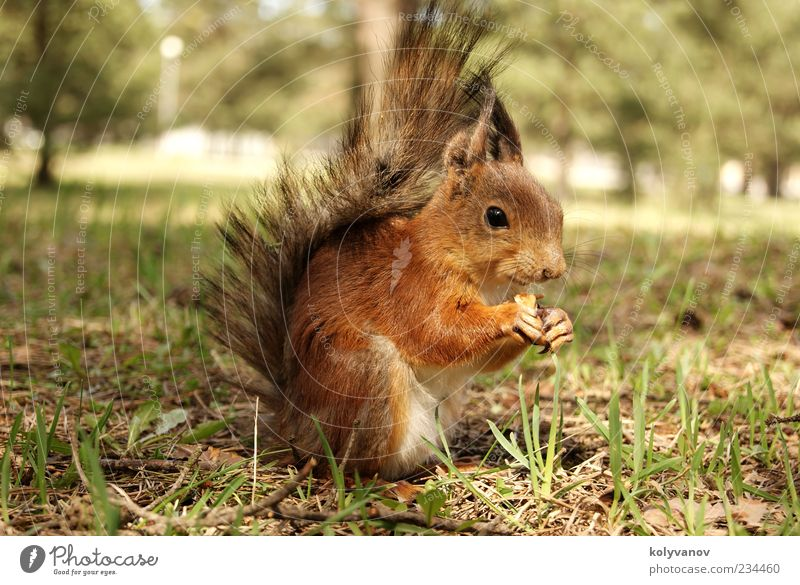 Eichhörnchen schön Tier Baum klein natürlich Geschwindigkeit braun Nizza Tierwelt Ohren Krallen amüsant fluffig rege Protein Menschenleer