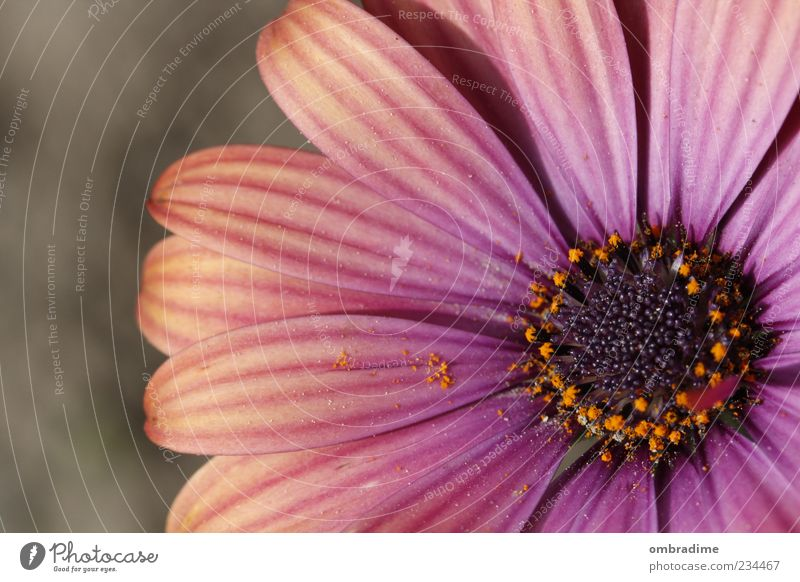 FLOWER POWER Natur schön Pflanze Sommer Blume Umwelt Frühling Blüte rosa violett Schönes Wetter Pollen Blütenblatt Blütenstempel