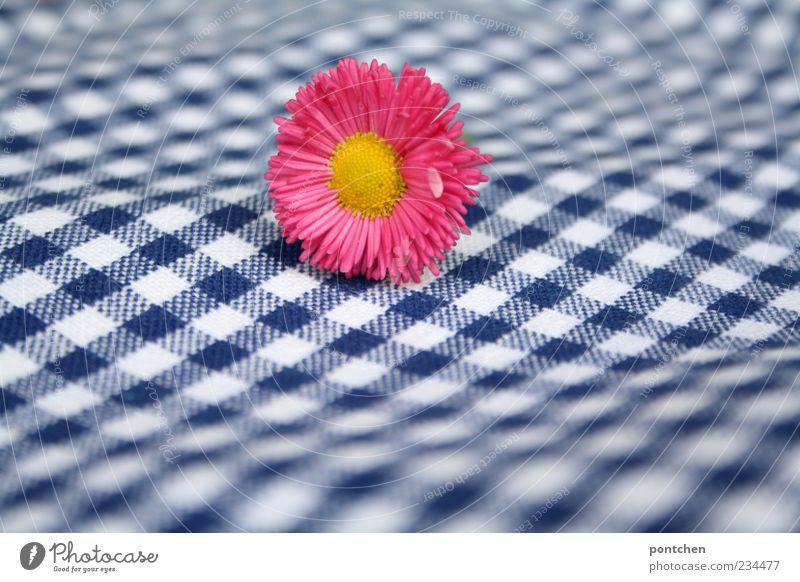 Rosa Gänseblümchen liegt auf einem blau-weiß kariertem Stoff. Muster, karos. Frühling. Pflanze ästhetisch gelb rosa Blüte Unschärfe Farbfoto mehrfarbig Tag