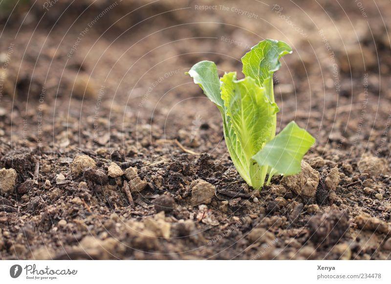 Wer sät, der ... grün Pflanze Frühling braun frisch Wachstum Boden Gemüse Jungpflanze Lebensmittel Ernährung Eisbergsalat Eigenanbau