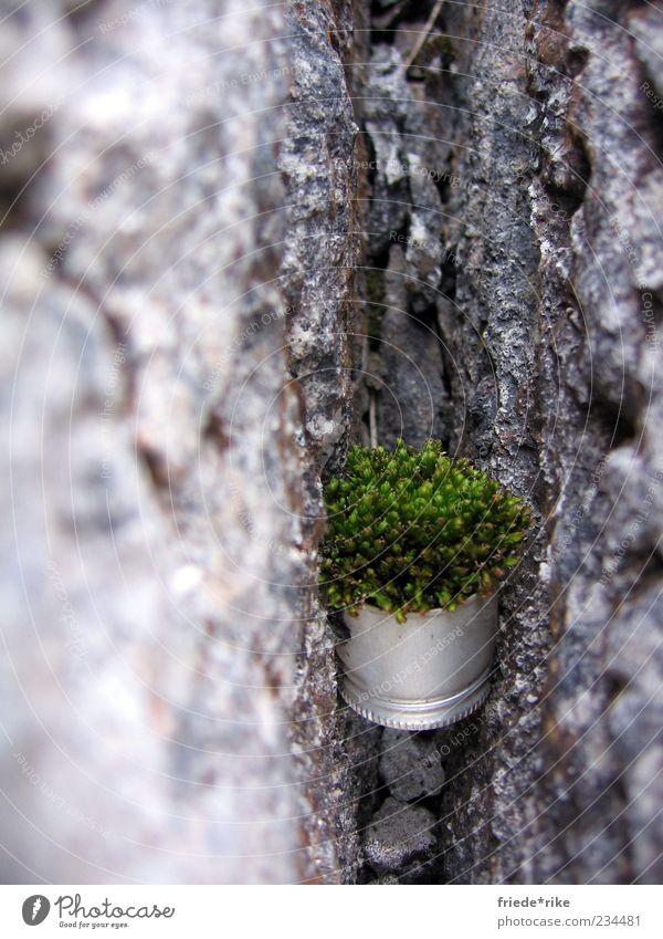 Überlebenskünstler Umwelt Natur Pflanze Moos Felsen Schraubverschluss Stein hängen fest grau grün silber Farbfoto Außenaufnahme Tag klemmen fixieren zwischen