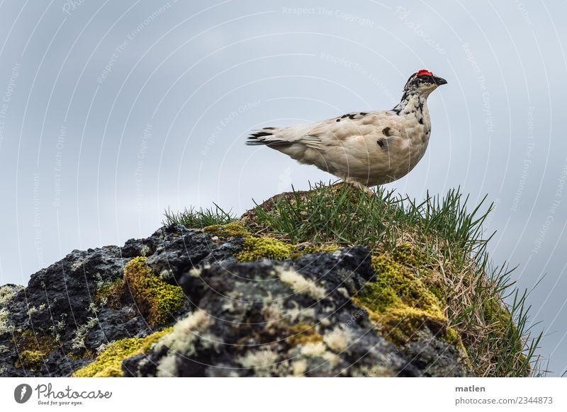 Alpenschneehuhn Frühling Gras Moos Felsen Tier Wildtier Vogel 1 beobachten natürlich gelb grau grün rot weiß Island Regen Außenaufnahme Nahaufnahme Menschenleer