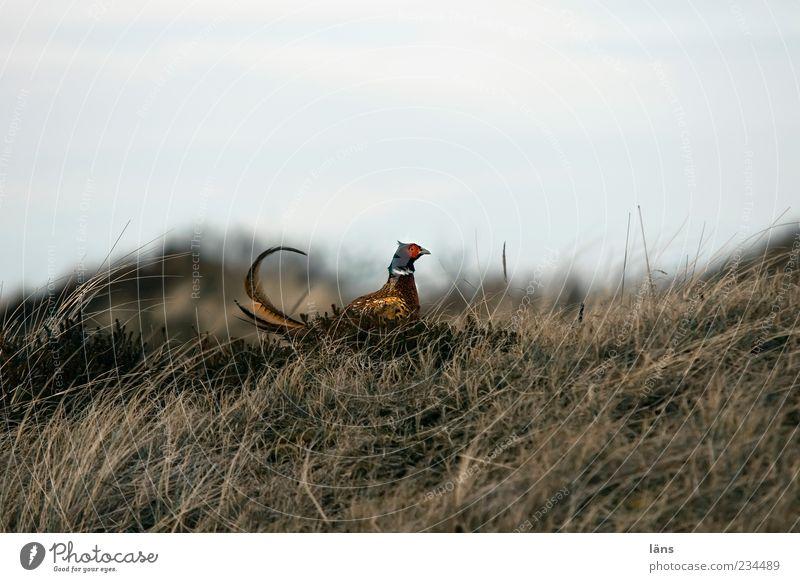 Spiekeroog | Gockel Umwelt Natur Landschaft Pflanze Himmel Gras Tier Wildtier Vogel Fasan 1 beobachten ästhetisch stolzieren aufrechter Gang gekrümmt Revier