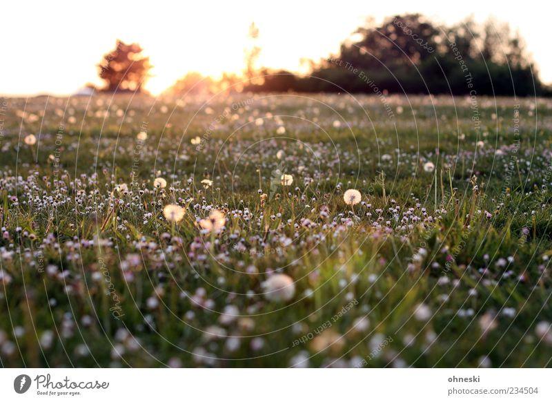 Good Morning Natur Pflanze Horizont Sonne Sonnenaufgang Sonnenuntergang Sonnenlicht Frühling Schönes Wetter Blume Gras Blüte Park Wiese grün Frühlingsgefühle