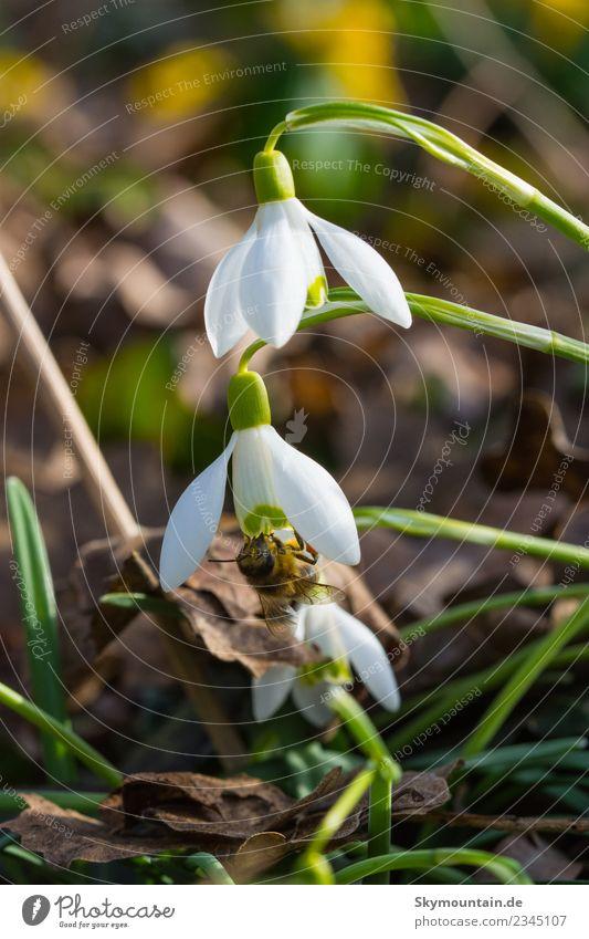 Schneeglöckchen im Frühling, die erste Biene... 2 Natur Pflanze grün Tier Freude Wald gelb Umwelt Blüte Wiese Glück Garten braun Zufriedenheit Park Wetter