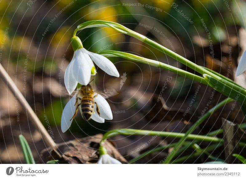 Schneeglöckchen im Frühling, die erste Biene... Umwelt Natur Landschaft Pflanze Tier Sonne Wetter Schönes Wetter Wildpflanze gelb grün orange schwarz Freude