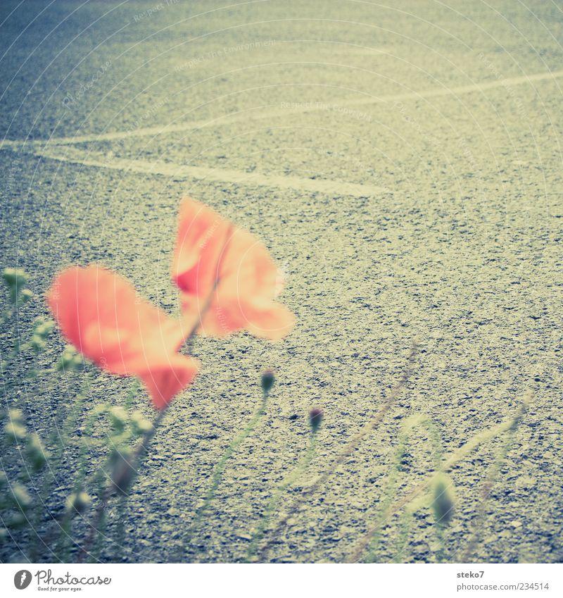 Streetview Natur rot Pflanze schwarz Straße grau Wege & Pfade Blüte Asphalt Straßenrand Mohnblüte Retro-Farben