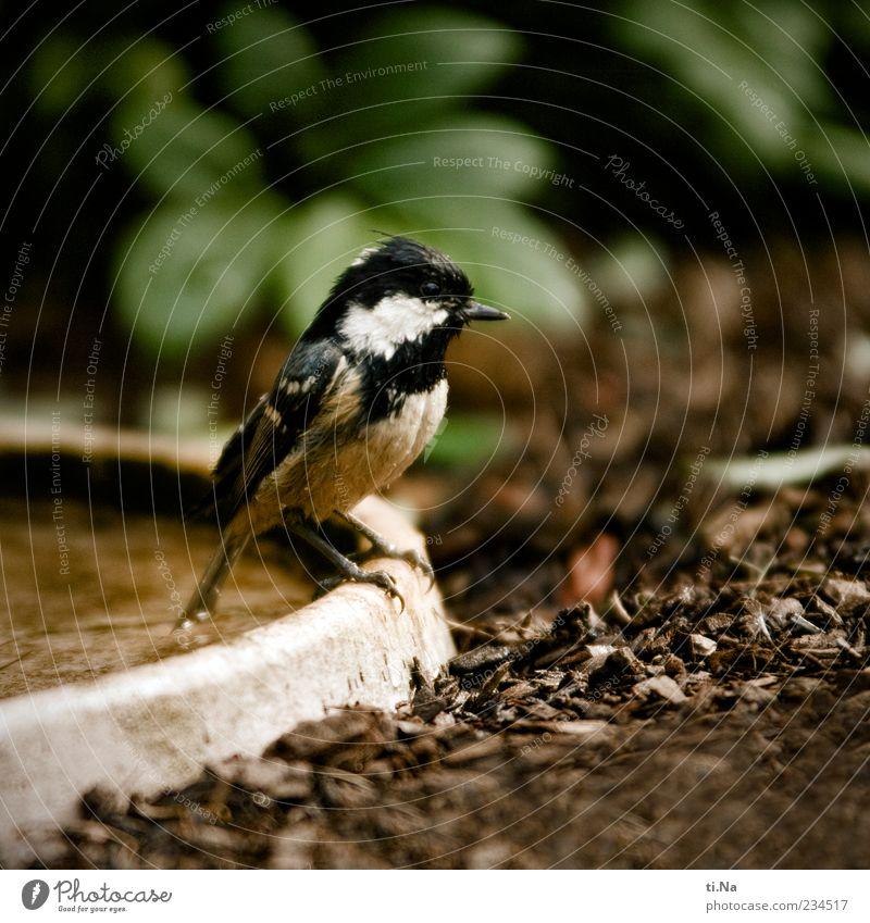 Meisenbadezeit Natur grün Tier schwarz Umwelt klein Frühling braun Vogel sitzen Wildtier nass authentisch niedlich Becken