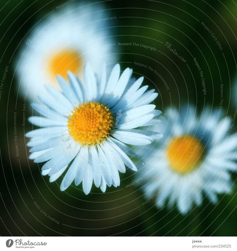 3gestirn weiß grün schön Blume Farbe gelb rund nah Gänseblümchen Blütenblatt Makroaufnahme
